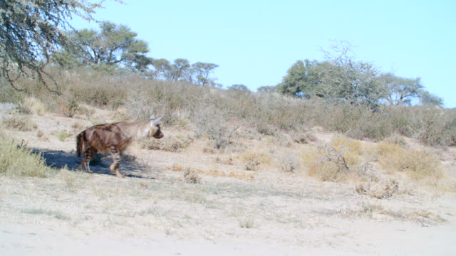 MS Brown hyena (Hyaena brunnea) walking away / Kgalagadi Transfrontier Park, Kgalagadi District, South Africa