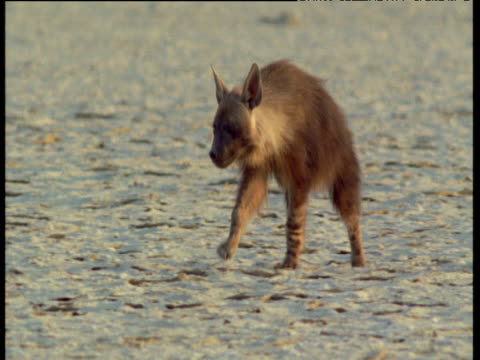 Brown hyena walks towards camera over salt pan