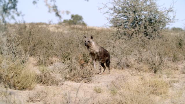 WS Brown hyena (Hyaena brunnea) wandering in savannah / Kgalagadi Transfrontier Park, Kgalagadi District, South Africa