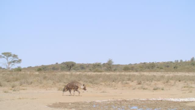 WS TS Brown hyena (Hyaena brunnea) wandering in savannah / Kgalagadi Transfrontier Park, Kgalagadi District, South Africa