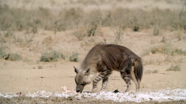 ms brown hyena (hyaena brunnea) wandering in savannah / kgalagadi transfrontier park, kgalagadi district, south africa - brown stock videos & royalty-free footage