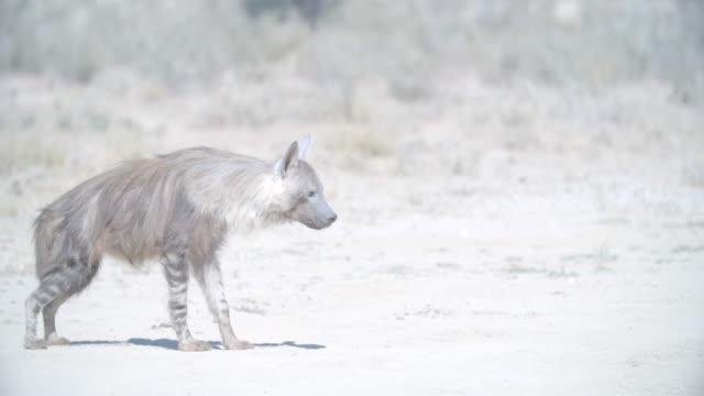 ms selective focus slo mo brown hyena (hyaena brunnea) wandering in savannah / kgalagadi transfrontier park/ kgalagadi district/ botswana - brown stock videos and b-roll footage