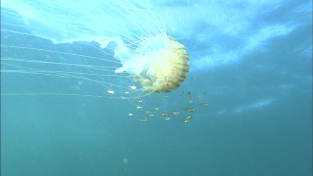 brown jellyfish (chrysaora melanaster)  / numazu - school of fish stock videos & royalty-free footage