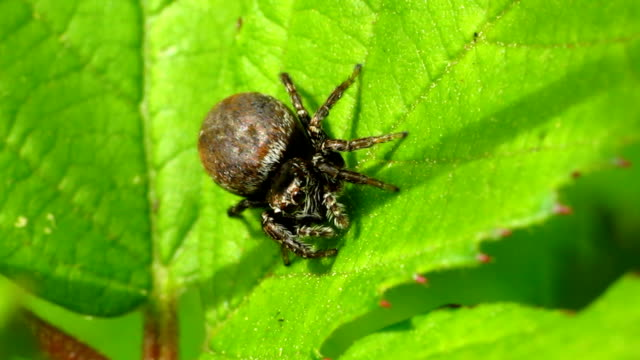 brown jumping spider - arachnid stock videos and b-roll footage