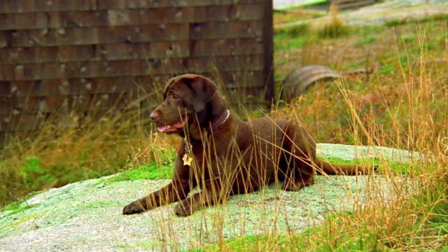 Brown Labrador retriever lying on boulder panting / building in background / Nova Scotia, Canada
