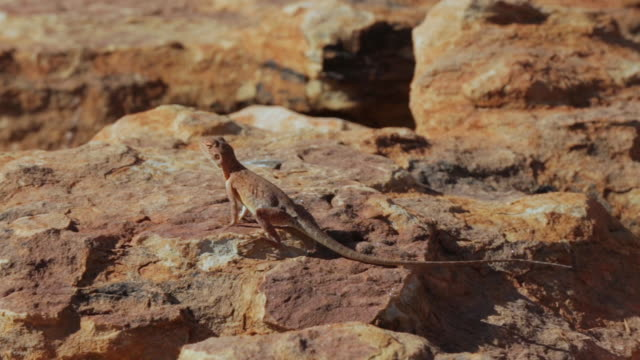 stockvideo's en b-roll-footage met brown lizard at king's canyon, central australia - duurzaam toerisme