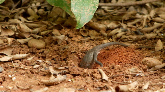 brown lizard digging soil for spawning - reptile stock videos & royalty-free footage
