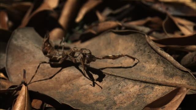 vidéos et rushes de a brown mantis perches on a dry leaf. - camouflage