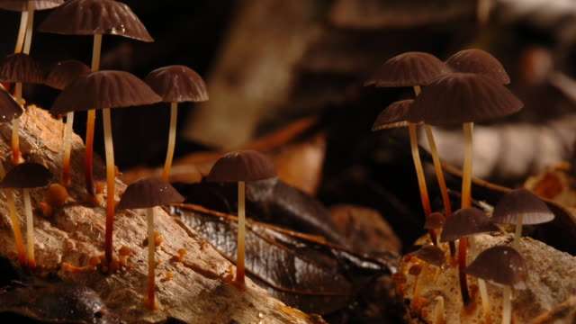 brown marasmius mushrooms grow on decaying wood. available in hd. - rotting stock videos and b-roll footage