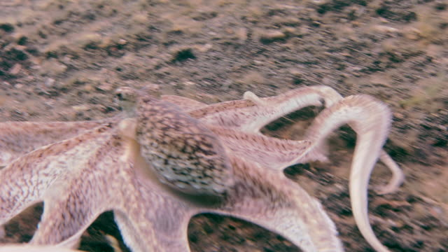 brown mimic (octopus sp.), a long-armed octopus. filmed in the lembeh strait, sulawesi, indonesia - copying stock videos & royalty-free footage