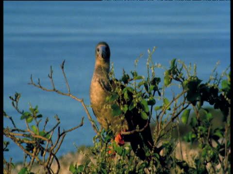 vídeos y material grabado en eventos de stock de brown morph of red footed booby perches in tree, galapagos - alcatraz patirrojo