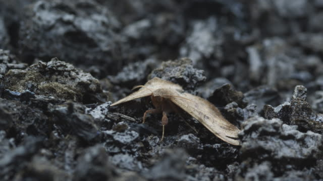 brown moth on ash in rain, nyamuragira, democratic republic of congo, 2011 - 無脊椎動物点の映像素材/bロール