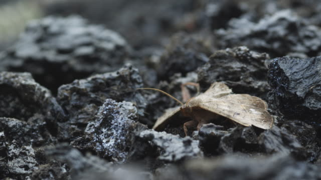 brown moth on volcanic ash, nyamuragira, democratic republic of congo, 2011 - 無脊椎動物点の映像素材/bロール