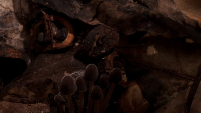 brown mushrooms sprout from the forest floor. available in hd. - woodland stock videos & royalty-free footage