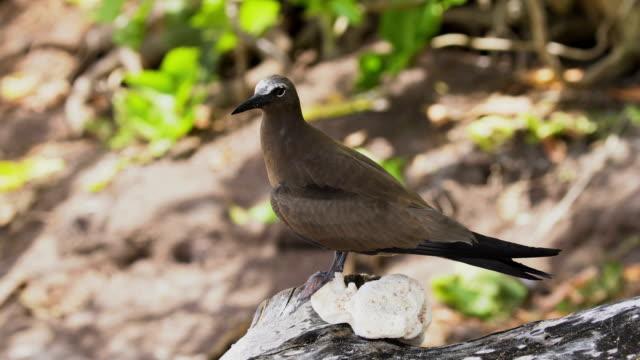 Brown Noddy, Seychelles islands
