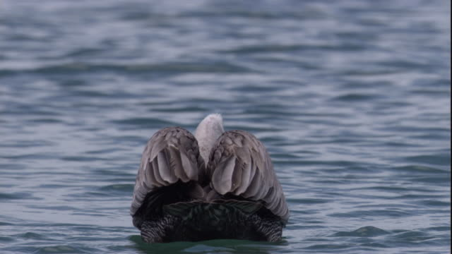 A brown noddy takes off from the head of a brown pelican that floats on the water. Available in HD.