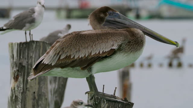 brown pelican close-up - sea bird stock videos and b-roll footage