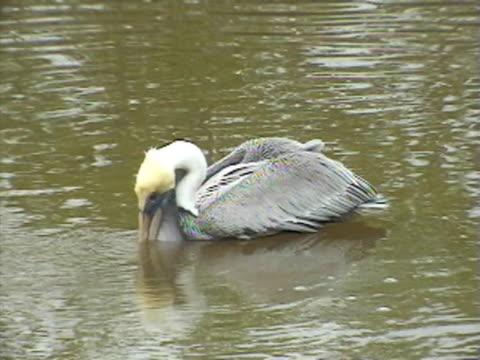ms brown pelican feeding in water / usa  - pelican stock videos & royalty-free footage