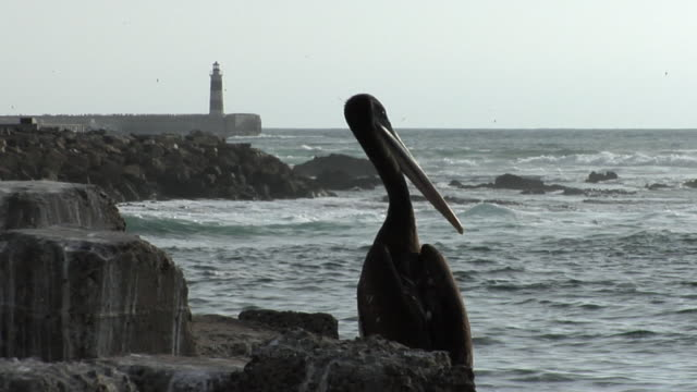 ms brown pelican (pelecanus occidentalis) on rocky shore with lighthouse in background, antofagasta, chile - antofagasta region stock videos and b-roll footage