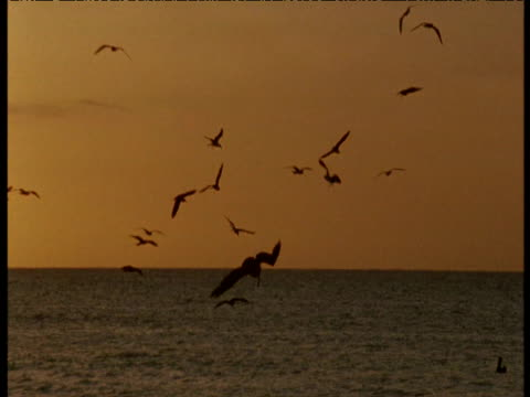 vídeos de stock e filmes b-roll de brown pelican plunge dives at sunset, tobago - pelicano
