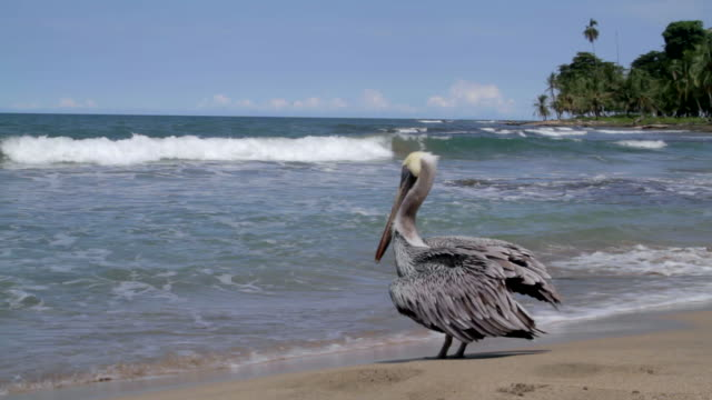 a brown pelican stands on the beach - composition stock videos & royalty-free footage