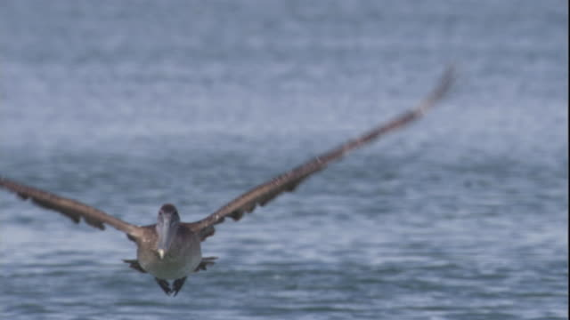 a brown pelican takes off from water and then plunges back in. available in hd. - pelican stock videos & royalty-free footage