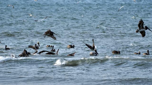 brown pelicans fishing: costa rica - pelican stock videos & royalty-free footage
