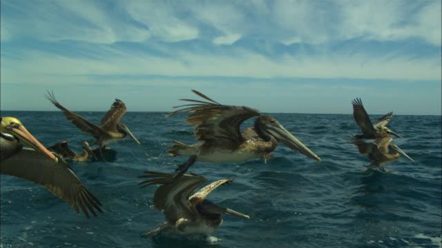 brown pelicans fly over sea, baja california, mexico. - pelican stock videos & royalty-free footage