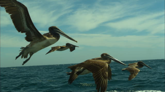 vídeos de stock e filmes b-roll de brown pelicans fly over sea, baja california, mexico. - pelicano