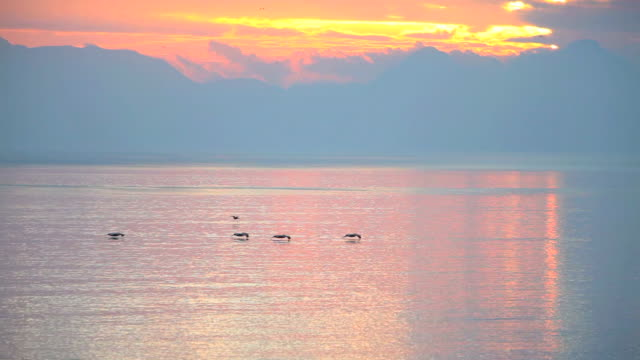 WS Brown pelicans (Pelecanus occidentalis) flying above waters surface at sunrise near Loreto, Baja California Sur, Mexico