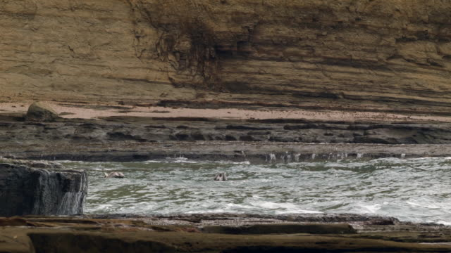 Brown Pelicans (Pelecanus occidentalis) plunge diving for fish