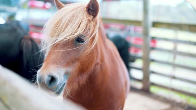 braun pony in australien - klein stock-videos und b-roll-filmmaterial