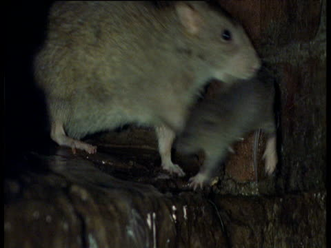 stockvideo's en b-roll-footage met brown rat carries baby through sewer, yorkshire - rat