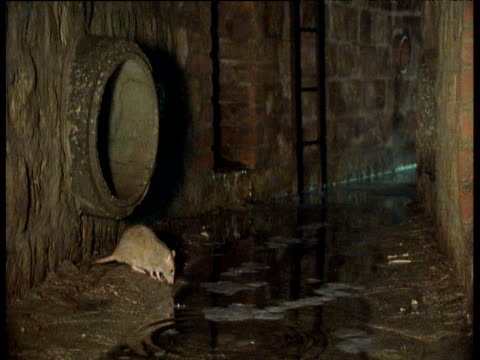 stockvideo's en b-roll-footage met brown rat eats at the edge of sewer, yorkshire - rat