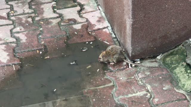 brown rat in the city drinking water from puddle - rat stock videos & royalty-free footage