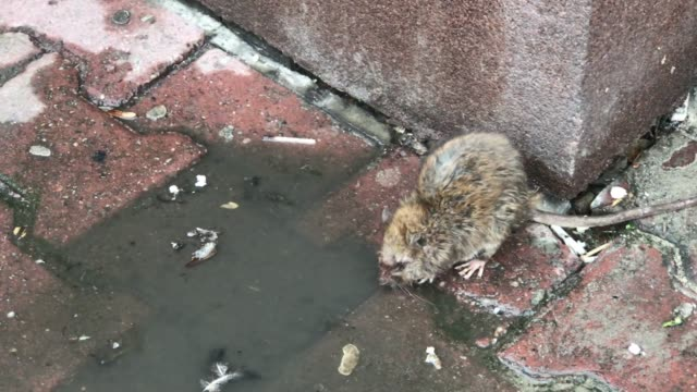 brown rat in the city drinking water from puddle - epidemia video stock e b–roll