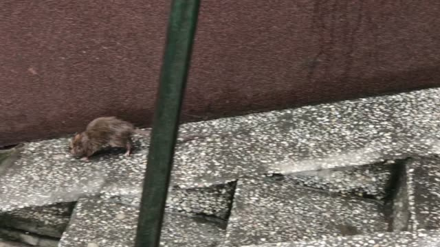 brown rat in the city - roditore video stock e b–roll