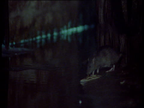 Brown rat jumps over water and into sewage pipe, Chicago