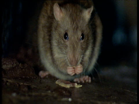 Brown rat sits facing camera whilst eating biscuit, Yorkshire