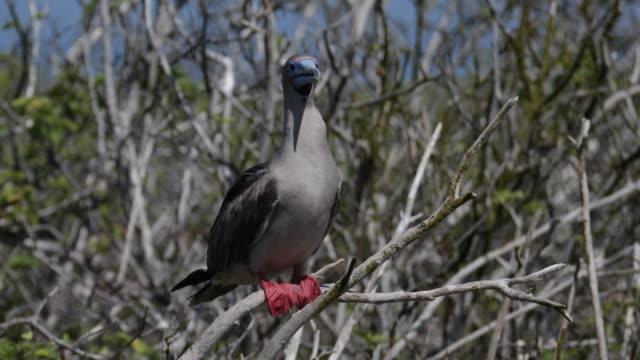 vídeos y material grabado en eventos de stock de brown red-footed booby sitting on a tree, isla genovesa, galã¡pagos, ecuador - alcatraz patirrojo