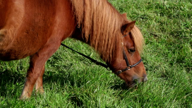 4k: brown shetland pony eating grass - cavallo equino video stock e b–roll