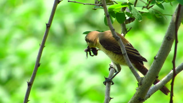 brown shrike eating a frog - other stock videos and b-roll footage
