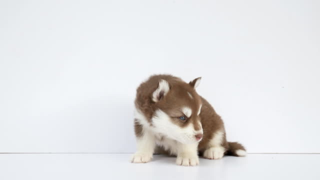 brown siberian husky puppy - siberian husky stock videos & royalty-free footage