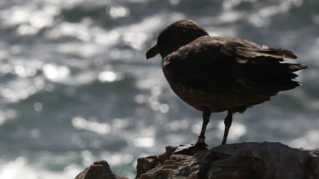 stockvideo's en b-roll-footage met brown skua on cliff, new island, falkland islands, 4k. - atlantische eilanden