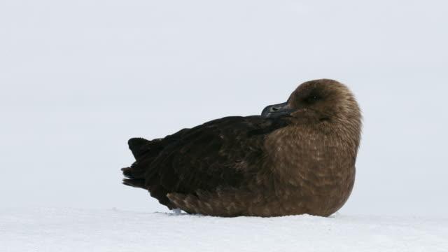brown skua on snow - antarctic peninsula stock videos & royalty-free footage
