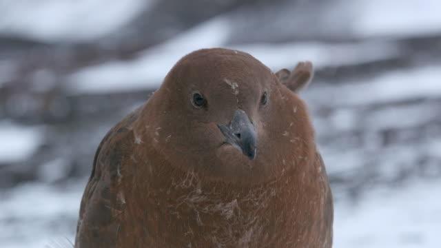 brown skua - antarctic peninsula stock videos & royalty-free footage