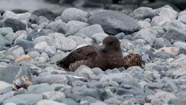 brown skuas on rock - vattenfågel bildbanksvideor och videomaterial från bakom kulisserna