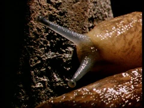 CU brown Slug, head and antennae