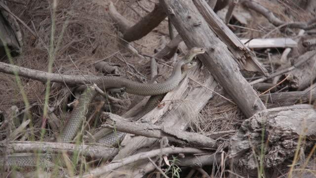 brown snakes in australia - brown stock videos & royalty-free footage