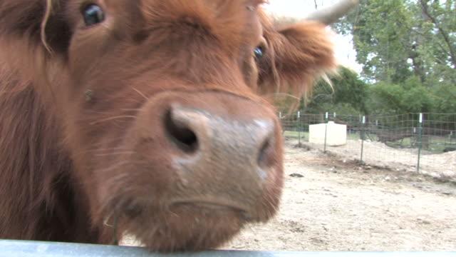 Brown steer 5-HD 1080/bis 30